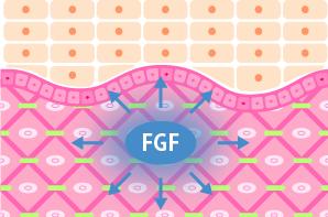 2年も持続するコラーゲン生成の切り札「FGF」